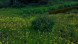 some wildflowers and a little pond right at about treeline